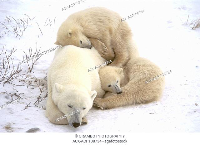 Polar Bear mother and cubs rest in snow Ursus maritimus Near Churchill, Manitoba Canada