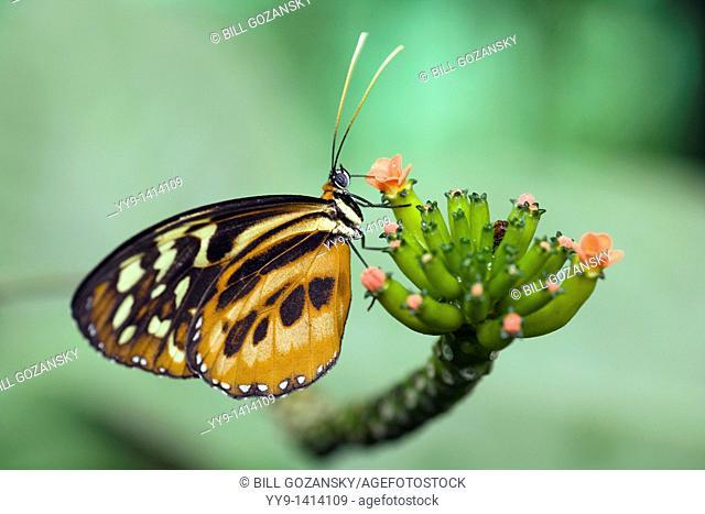 Close-up of Heliconius Butterfly Species Captive - La Selva Jungle Lodge, Amazon Region, Ecuador