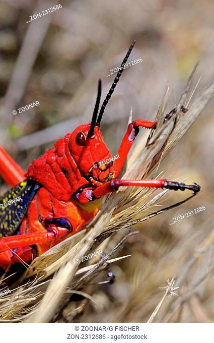 Kegelkopfschrecke, Phymateus morbillosus, mit auffällig leuchtenden Farben zur Abschreckung von Feinden, Goegap Naturreservat, Namakwaland