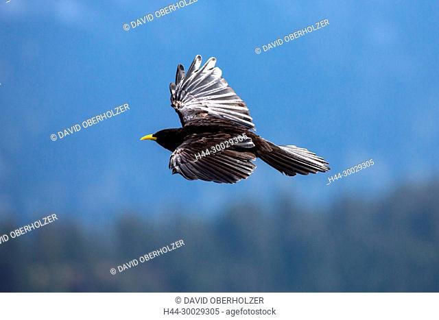 The Alps, mountain jackdaw, the Bernese Oberland, autumn, Niederhorn, Switzerland, animals, bird, birds, wilderness, wild animals