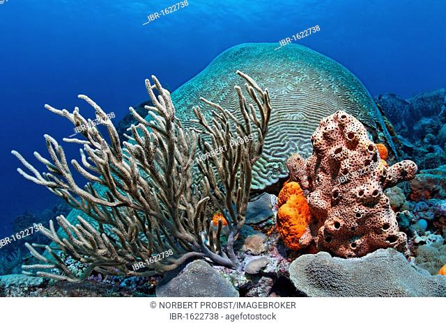 Coral block, coral reef, overgrown, various multicoloured sponges and corals, Little Tobago, Speyside, Trinidad and Tobago, Lesser Antilles, Caribbean Sea