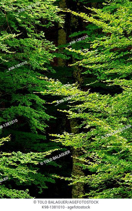 Beech leaves, Fagus sylvatica, Forest Irati, Navarra Pyrenees Mountains Spain