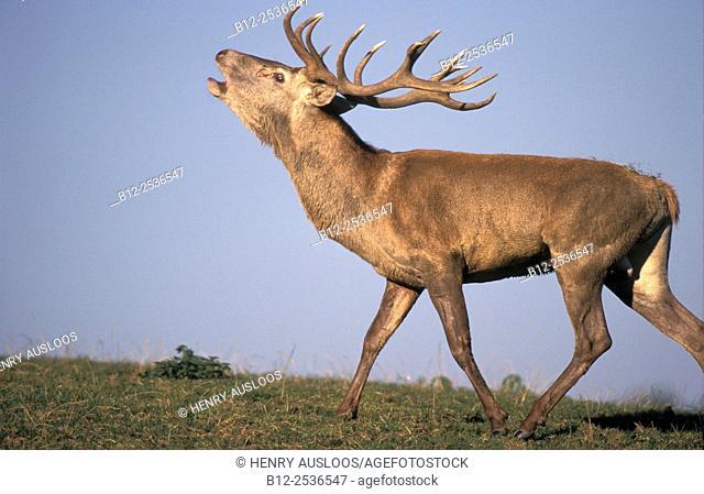 Red deer roaring, Cervus elaphus, Germany