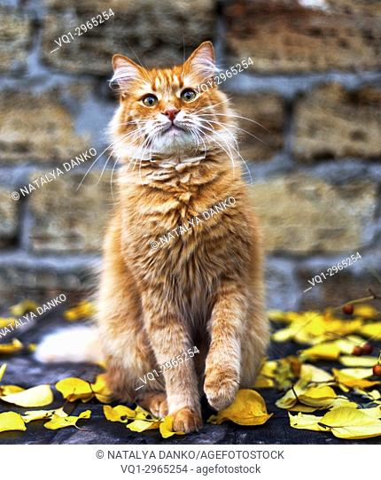 red cat sitting in the middle of yellow foliage, close up