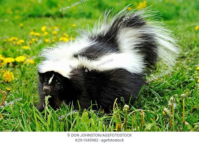 Striped Skunk Mephitis mephitis adult- CS