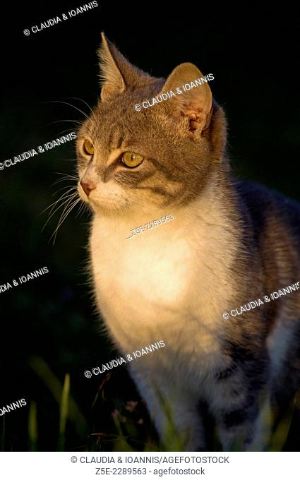 Young tomcat sitting outdoors in sunset light