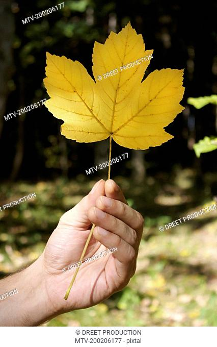 Person holding Sycamore maple leaf, close up