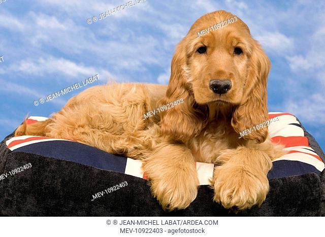 Dog - English Cocker Spaniel - puppy. on dog bed