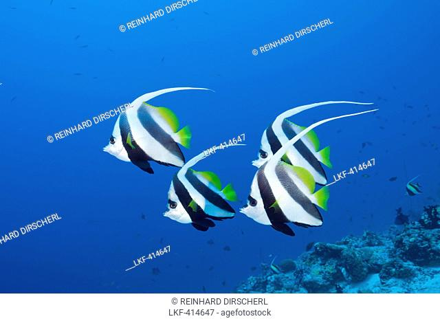 Pennant Bannerfish, Heniochus diphreutes, North Male Atoll, Maldives