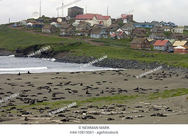 Northern Fur Seal rookery with town, St. Paul in background, St. Paul, Pribilof Islands, Alaska, USA, America, North A