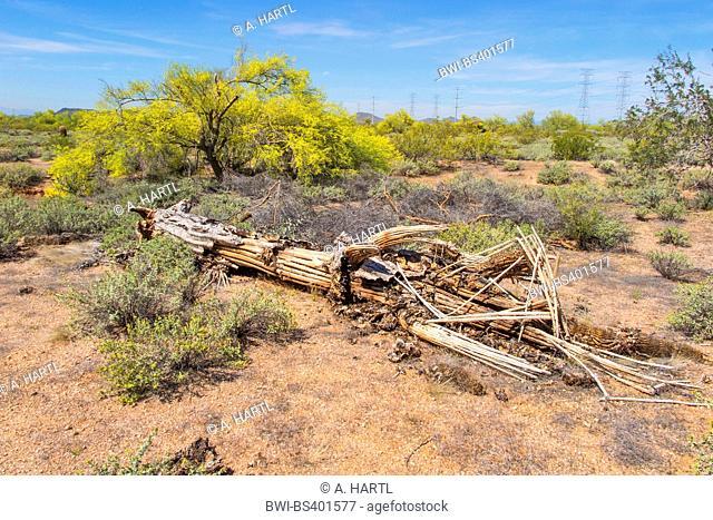 saguaro cactus (Carnegiea gigantea, Cereus giganteus), turned over by a storm, wooden remains, USA, Arizona, Sonoran, Phoenix