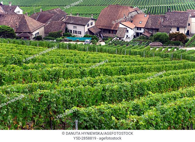 Europe, Switzerland, canton Vaud, La Côte, Nyon district, Mont-sur-Rolle, houses in vineyards in autumn