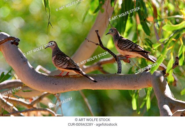 Peaceful doves, Kimberley region, Western Australia