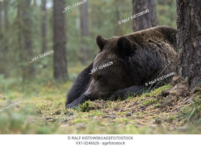Brown Bear / Braunbaer ( Ursus arctos ), young adult, lying, resting, sleeping over day in the undergrowth, shrubs of an autumnal boreal forest, Europe