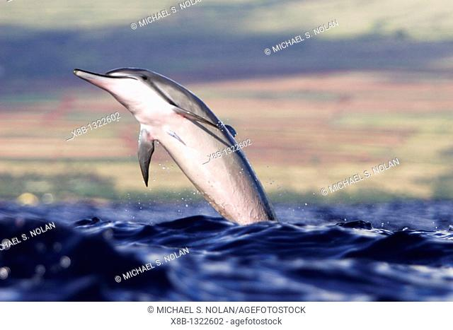 Hawaiian Spinner Dolphin Stenella longirostris in the AuAu Channel note the remora on the chest off the coast of Maui, HAwaii, USA  Pacific Ocean