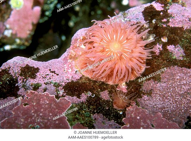 Brooding or Proliferating Anemone (Epiactis prolifera) on eel grass & rocky shores AK-S. CA