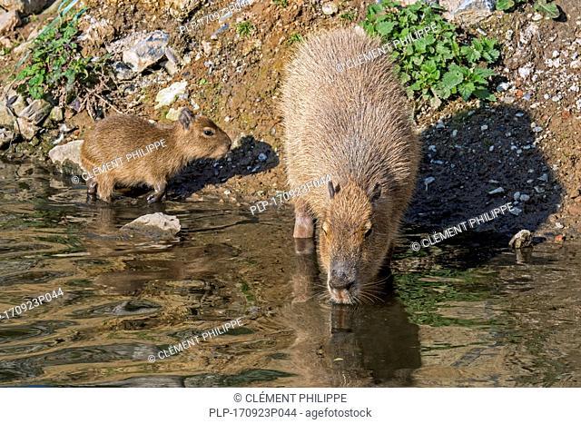 Capybara (Hydrochoerus hydrochaeris / Hydrochoeris hydrochaeris) drinking water with pup along riverbank, largest rodent native to South America