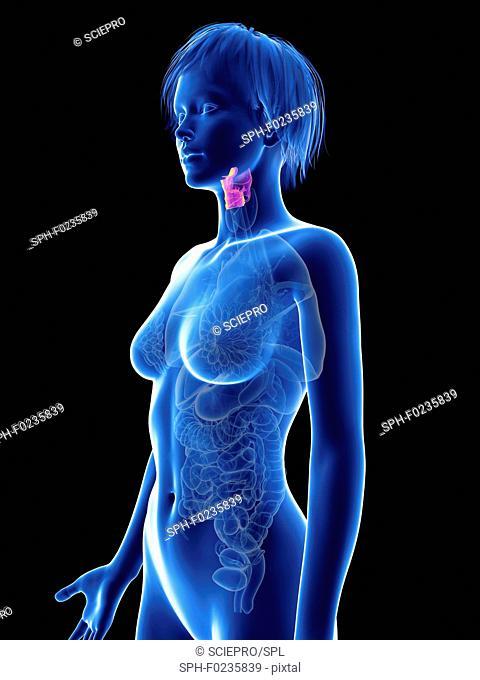 Illustration of a woman's larynx