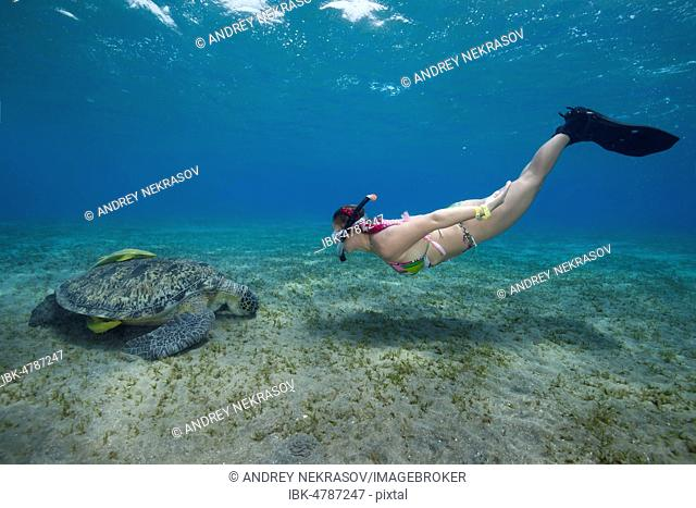 Woman with mask and fins snorkling with Green Sea Turtle (Chelonia mydas), Red Sea, Abu Dabab, Marsa Alam, Egypt