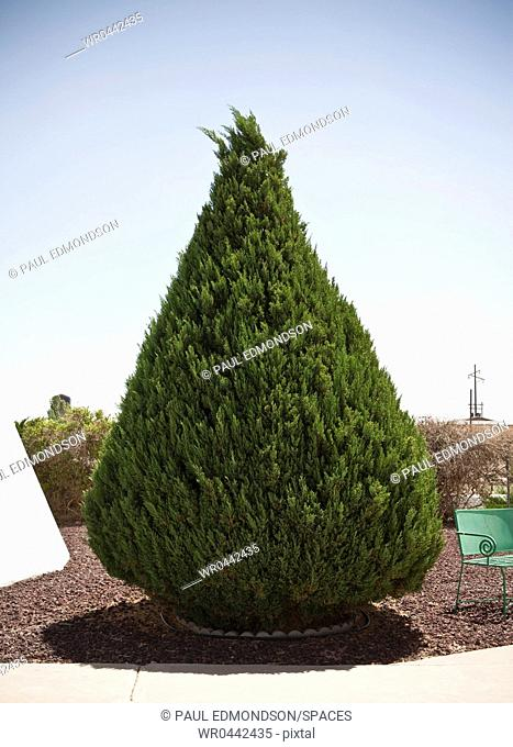 Conical Shaped Evergreen Tree