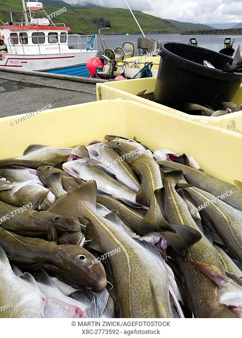 Landing the catch of cod in the harbour. Village Eidi located at the Sundini sound. The island Eysturoy one of the two large islands of the Faroe Islands in the...