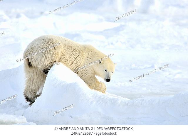 Polar bear (Ursus maritimus) playing in snow on ice floe, with a lump of ice Churchill, Hudson bay, Manitoba, Canada