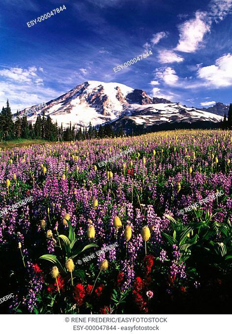 Alpine summer wildflowers. Mount Rainier National Park. Washington. USA