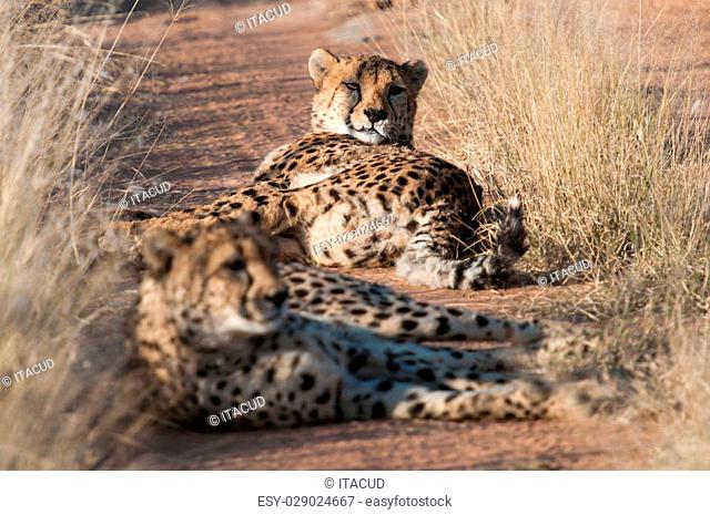 Resting Cheetahs in the private reserve Okonjima in Namibia