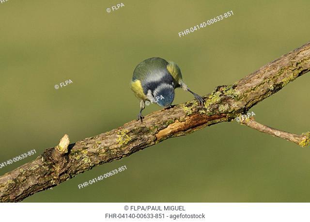 Blue Tit (Cyanistes caeruleus) adult, stripping bark from branch, West Yorkshire, England, December