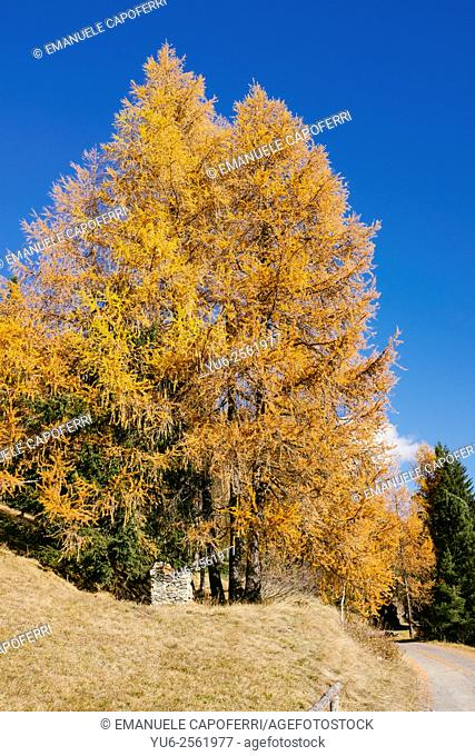 Autumn in the mountains, larch colored red and autumn colors, Valdidentro, Alta Valtellina, Lombardy, Italy