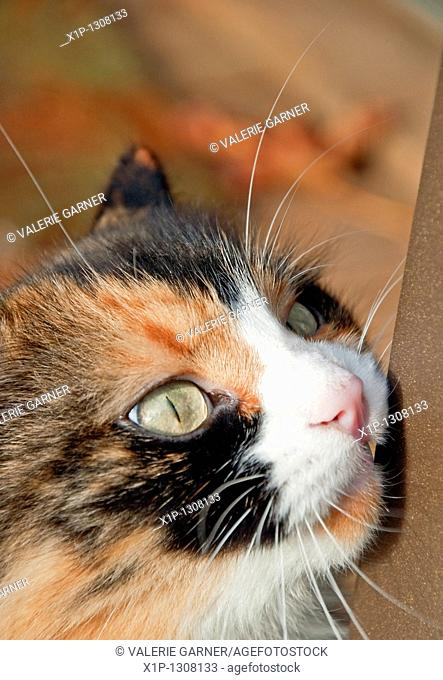 This vertical stock image is an extreme closeup of a calico cat's face while it is rubbing on a bar It's green eyes are compelling