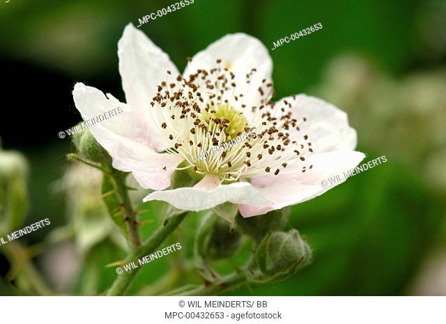 Shrubby Blackberry (Rubus fruticosus) flower, Netherlands