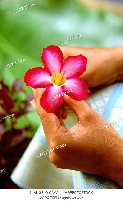 Woman's hands with Frangipani flower (Plumeria sp.). Thailand