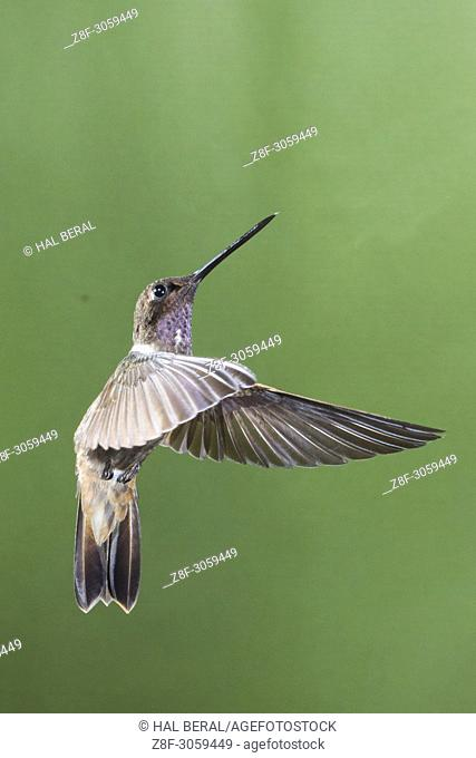 Brown Inca Hummingbird flying (Coeligena wilsoni). Ecuador