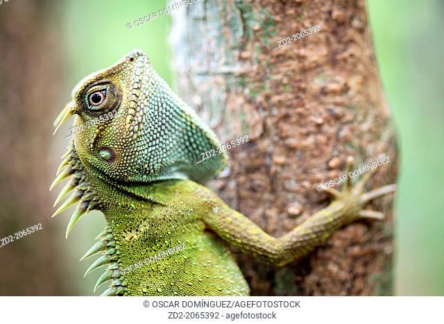 Mountain Horned Dragon (Acanthosaura capra). Bach Ma National Park. Vietnam