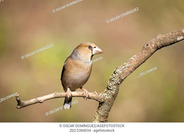 Hawfinch (Coccothraustes coccothraustes) perched on branch. Collserola Natural Park. Catalonia. Spain