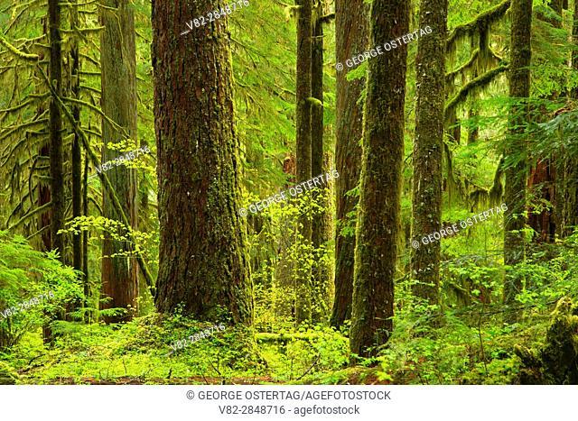 Ancient forest along Opal Creek Trail, Opal Creek Scenic Recreation Area, Willamette National Forest, Oregon