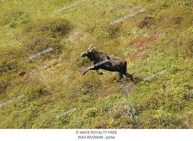 Helicopter view of a moose, Quebec
