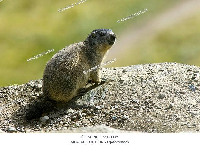 Young marmot at the entry of its burrow in the natural regional park of Queyras