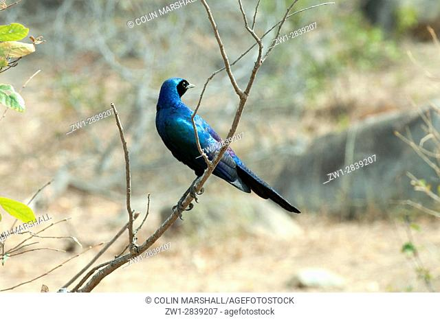 Burchellâ. . s Glossy Starling (Lamprotornis australis), Kruger National Park, Transvaal, South Africa