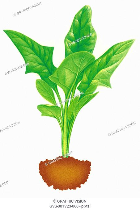 Illustration of Spinach Growing