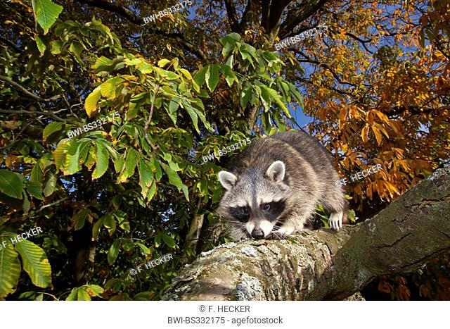 common raccoon (Procyon lotor), six month old male climbing in a tree, Germany