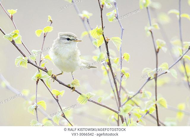 Chiffchaff ( Phylloscopus collybita ) perched on fresh green leaved birch branches, wildlife, Europe.