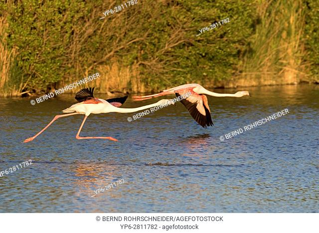 Greater flamingo (Phoenicopterus roseus), two adults flying over water, Camargue, Bouches-du-Rhône, Provence, France