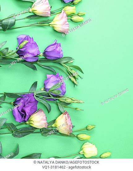 fresh blooming flowers Eustoma Lisianthus on green paper background, copy space
