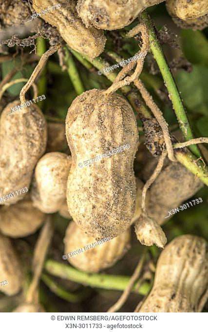 Close up on single peanut still attached to the root and ready for harvest, Tifton, Georgia. USA