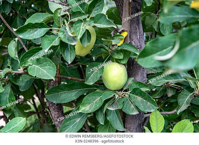 Apple Trees, Dades, Morocco