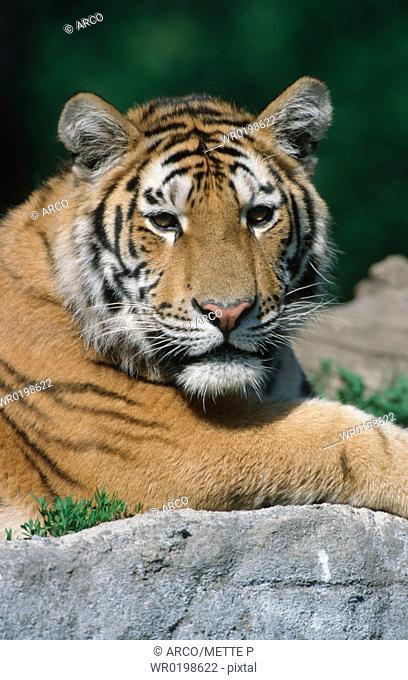Siberian, Tiger,Panthera, tigris, altaica