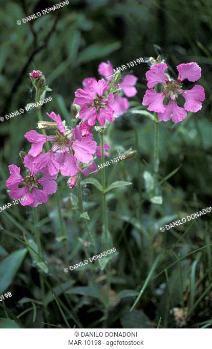 silene elisabethae flowers, venturosa mt., italy