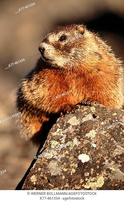Yellow-bellied Marmot (Marmota flaviventris), Yellowstone National Park, Wyoming, USA